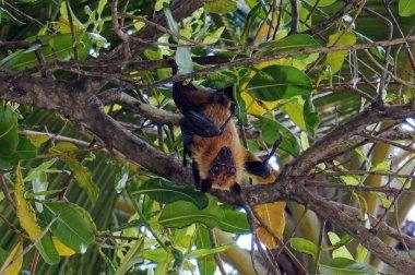 A male flying fox hangs upside down in a tree in Asia. A flying dog in a tree