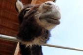 Širokoúhlý záběr hlavy osla zdola