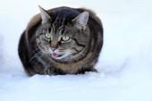 Vtipná kočičí fotka Kočka natahuje jazyk