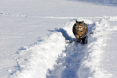Malá hnědočerná kočka šťastně skáče sněhem v zimě