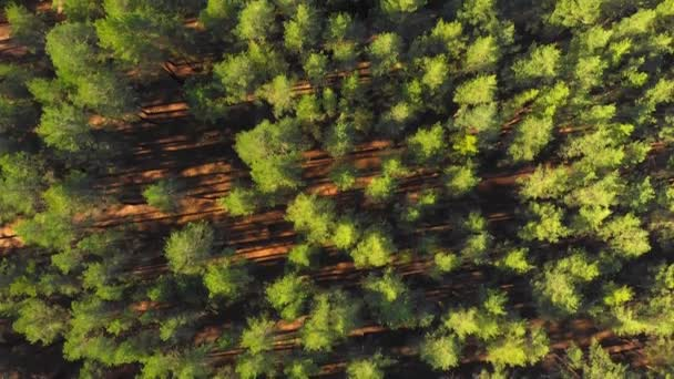 Drone flying high above beautiful pine forest in evening. Scenic afternoon forest with long shadows. Aerial nature footage.