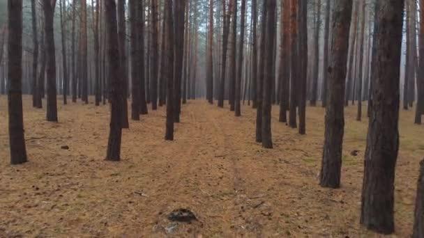 Drone proletěl krásnou mlhavým borovicovým lesem v zakryté ranní mlze. Klidný, poklidný, jehličnaté dřevo s hnědou jehlovou kobercem. Vyhlídkový podzimní les