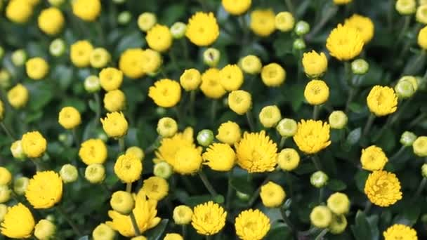 Beautiful vibrant yellow chrysanthemum flowers carpet background outdoor