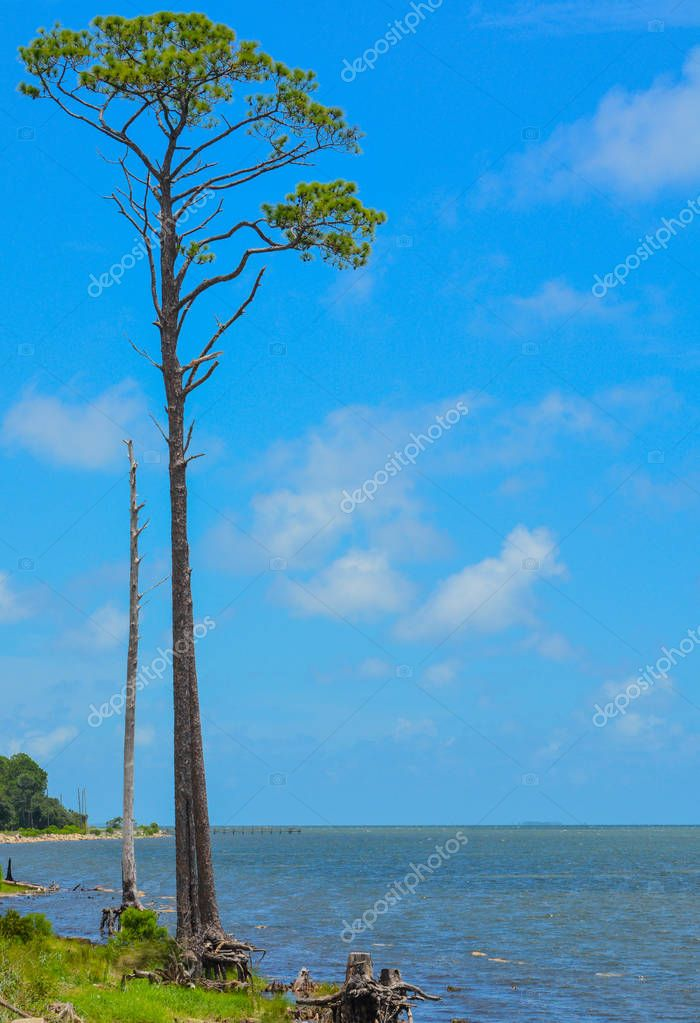 Pine tree on St. George Sound near Carrabelle, Franklin County, Florida.
