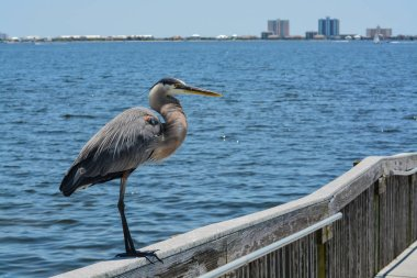"""Картина, постер, плакат, фотообои """"большая голубая цапля стоит на перилах в gulf breeze city park в округе санта-роза, штат флорида, мексиканский залив, сша архитектур природа"""", артикул 269600656"""