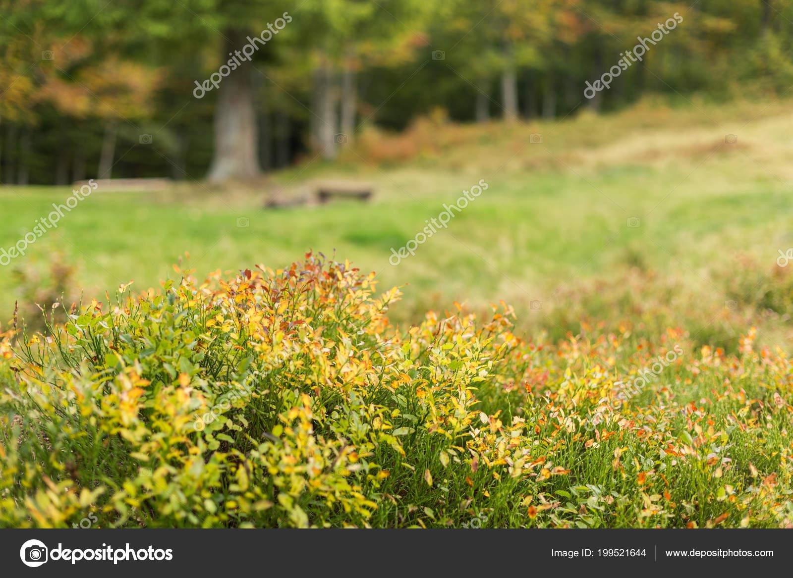 corymbe jauni sur fond clairière forêt avec des arbres automne