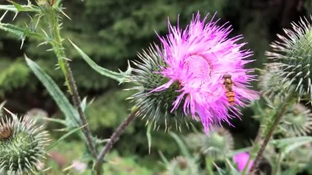 Žlutá fly sbírat nektar z fialové květy. Detail