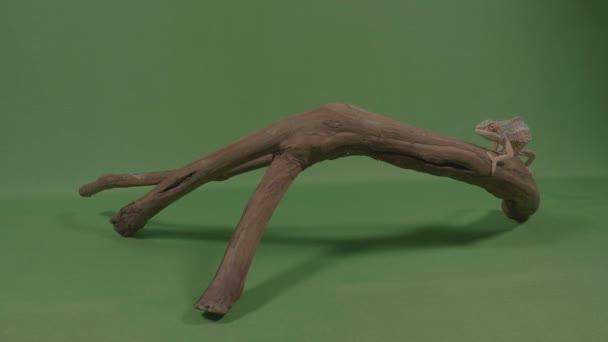 Malý chameleon ještěr stojící na kus staré dřevo větve pečlivě sledují