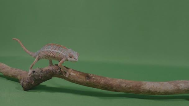 Fascinující exotické chameleon ještěrka plazících se po větvi na zelené obrazovce
