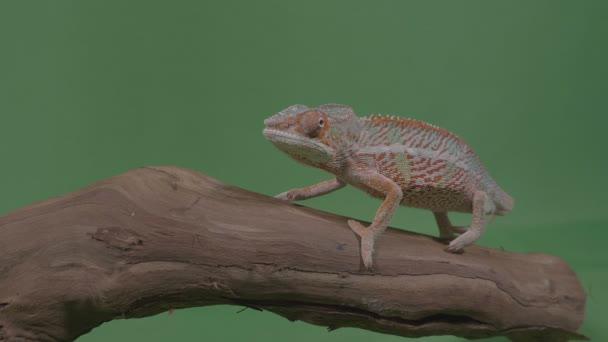 Krásný barevný chameleon sedící na větvi studovat životní prostředí zelená obrazovka v pozadí