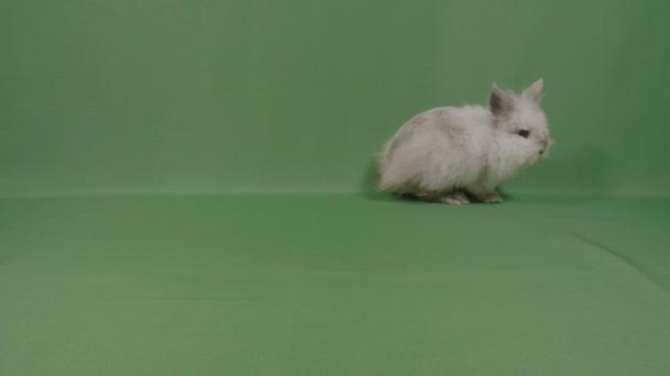 Coniglio di coniglietto adorabile bambino birichino cercando curioso ficcare su priorità bassa verde in studio