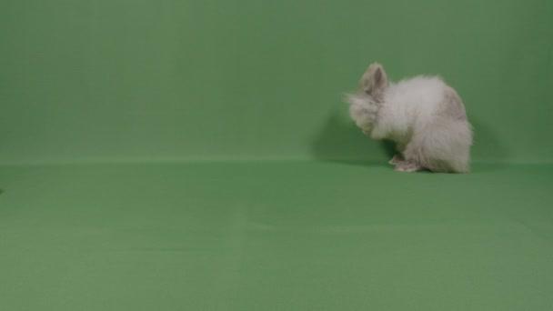 Nadýchané sladké králíček mytí jeho roztomilý tlama s malou krásnou opírající se předními tlapami s zeleným plátnem v pozadí