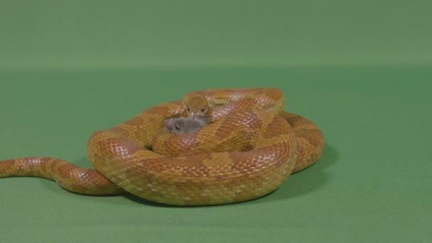 Constrictor veszélyes kígyó a szegény egér zsákmány csapdába fogságban, étkezés előtt