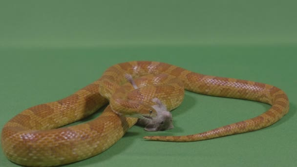Golden viper snake sniffing his dead rat prey ready to devouring it chroma key in background
