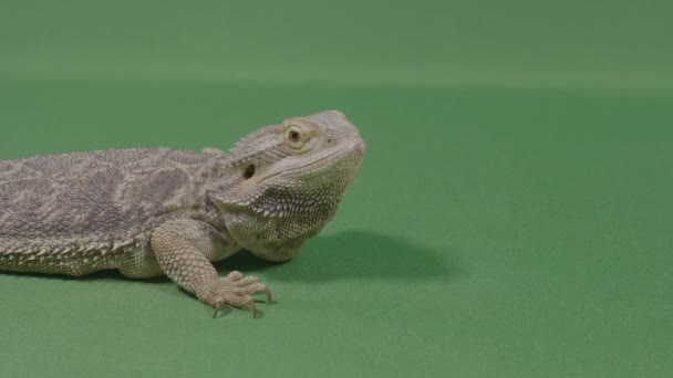 Portrait of lizard iguana standing on green background exotic animal concept