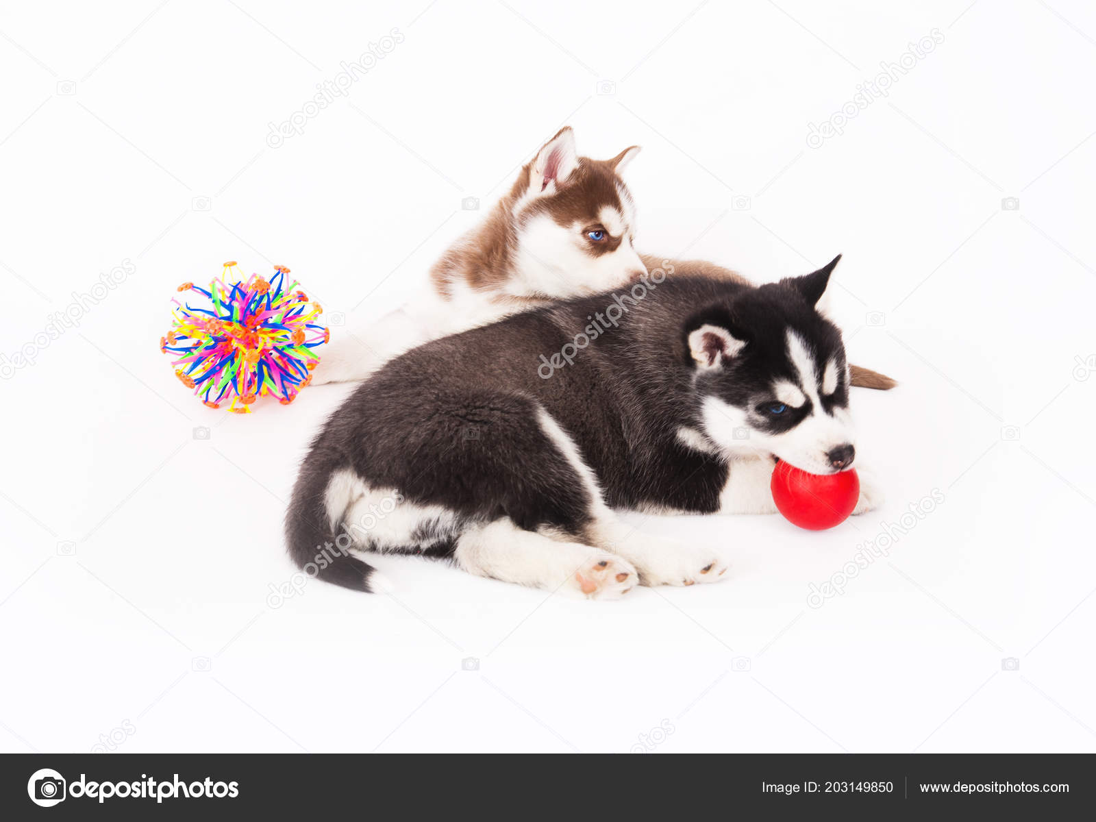 Two Siberian Husky Puppy Playing Toys Studio White