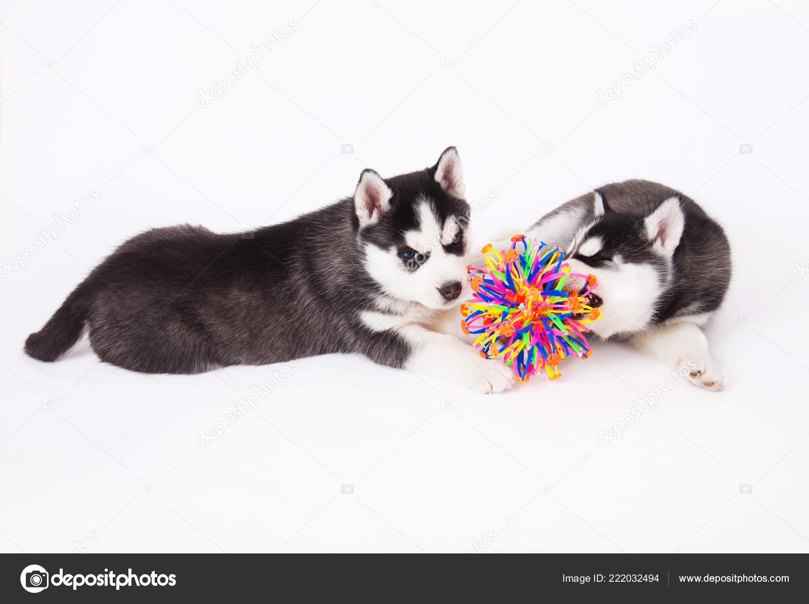 Two Siberian Husky Puppy Playing Ball Studio White
