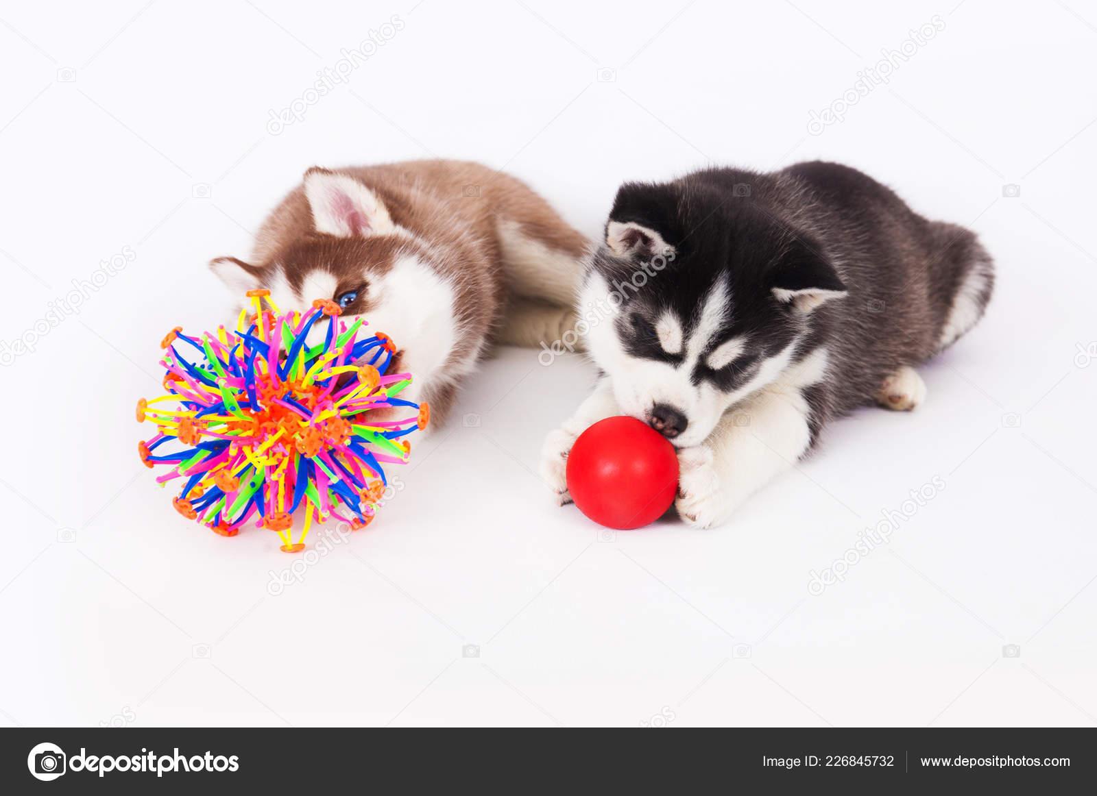 Two Siberian Husky Puppy Playing Balls Studio White