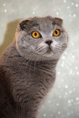 portrait of young scottish fold cat, gray color
