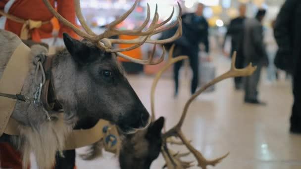 Santa Claus s sobů na letišti