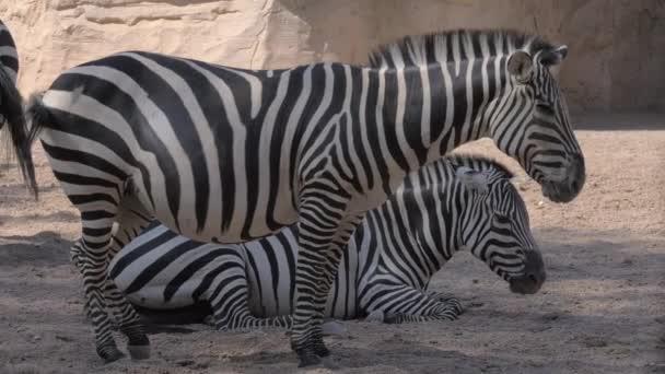 Zebrák az állatkertben. Egy állat terhes