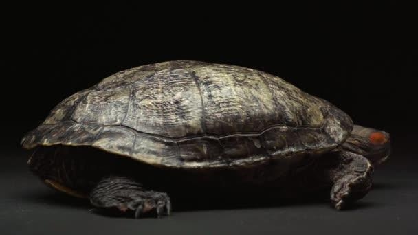 teknős csúszó vissza asztalon elszigetelt fekete