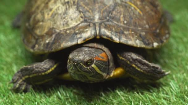 szelektív összpontosít a mozgó és a leplezés-ban gránát teknős, zöld fű