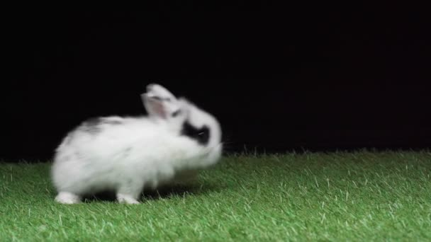 cute spotted rabbit wiggling nose and walking on green grass isolated on black