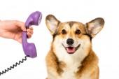 Teilansicht eines Mannes, der einem niedlichen Corgi auf weißem Hintergrund einen Telefonschlauch gibt