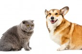 studio shot of grey british shorthair cat and welsh corgi pembroke sitting isolated on white background