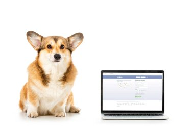 welsh corgi pembroke looking at camera and sitting near laptop with facebook website on screen isolated on white background