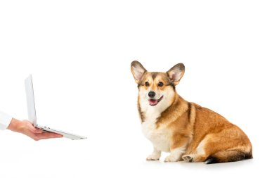 partial view of man showing laptop to welsh corgi pembroke isolated on white background