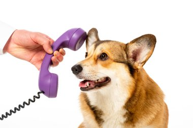 Cropped image of man giving telephone tube to adorable corgi isolated on white background stock vector