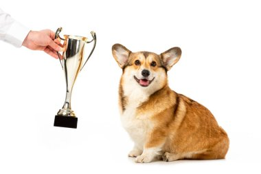 Partial view of man giving golden trophy cup to adorable welsh corgi pembroke isolated on white background stock vector