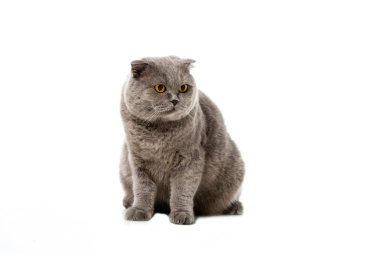 cute grey british shorthair cat looking away isolated on white background