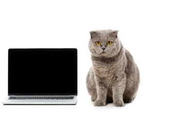 adorable grey british shorthair cat sitting near laptop with blank screen and looking at camera isolated on white background