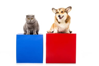 cute grey british shorthair cat with welsh corgi pembroke sitting on red and blue cubes isolated on white background