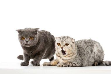 striped british shorthair cat yawning near grey british shorthair cat isolated on white background