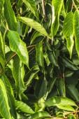 plnoformátový záběr krásné zelené listy pro pozadí