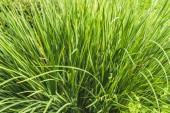 plnoformátový záběr zelené trávy pro pozadí
