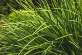 zblízka střílel zelené trávy na Lesní palouk