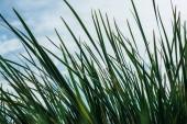 Fotografie zblízka střílel zelené trávy před zamračená obloha