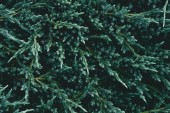 full frame shot of beautiful fir branches for background