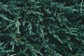 plnoformátový záběr krásné jedle větví pro pozadí