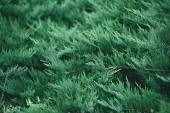Fotografie plnoformátový záběr jedle větví pro pozadí