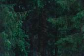 full-frame lövés drámai fenyves erdő