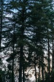 Fotografie silhouettes of pine tree forest with sunset sky on background