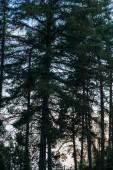 Siluette di foresta di pini con cielo di tramonto su priorità bassa