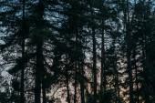 siluety borovic s západu slunce na obloze na pozadí