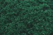 plnoformátový záběr zelené jedle Bushe pro pozadí